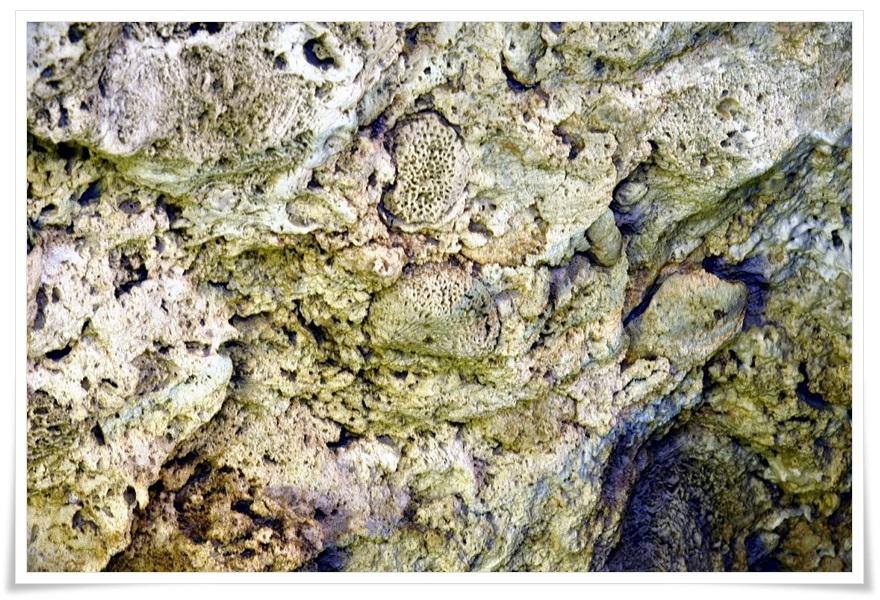 5_貝殻・珊瑚の化石